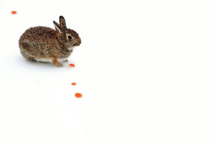 Follow the Trail Bunny  Snow Outdoors Backyard Photography Ice Frozen Nature Beauty In Nature Carrots Winter Ontario, Canada The Portraitist - 2018 EyeEm Awards The Great Outdoors - 2018 EyeEm Awards 50 Ways Of Seeing: Gratitude