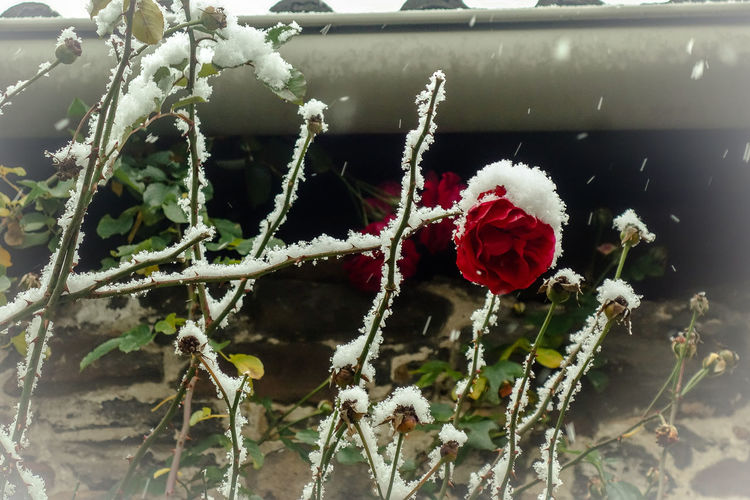 Freinsheim Frozen Rheinland-Pfalz  Winter Beauty In Nature Close-up Cold Temperature Flower Fragility Frozen Germany Ice Nature No People Red Rose - Flower Roses Snow Weather White Color Winter