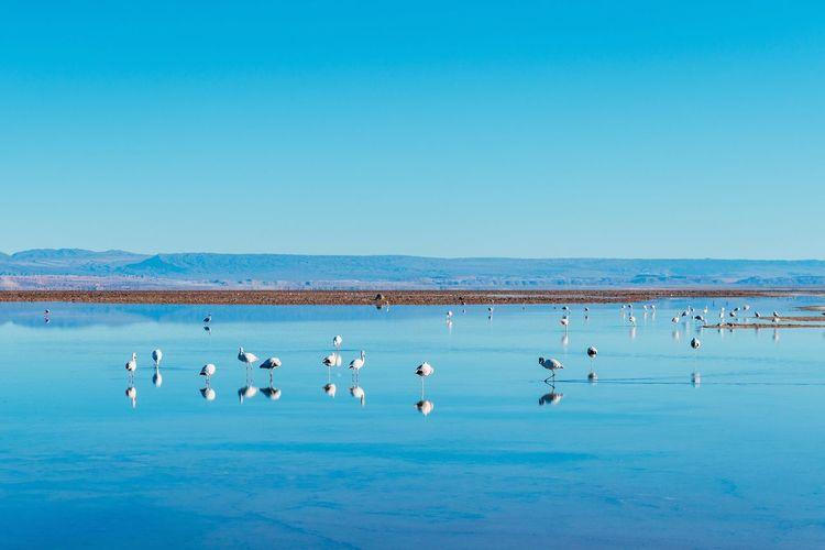 Flock of birds in sea against clear blue sky