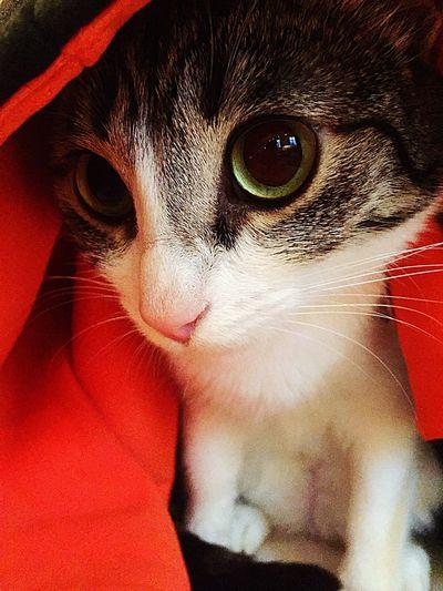 Cute Pets Animal Eye Cat Beautiful Animals  I❤️Cat I ❤️ Cats Cats 🐱 Cats Of EyeEm Cat Lovers Cat♡ EyeEm Animal Lover Eyeem Best Shots - Animals I❤️cats IPhoneography EyeEm Best Shots Domestic Cat Our Best Pics Arabian Mau  Showcase April Pet Portraits