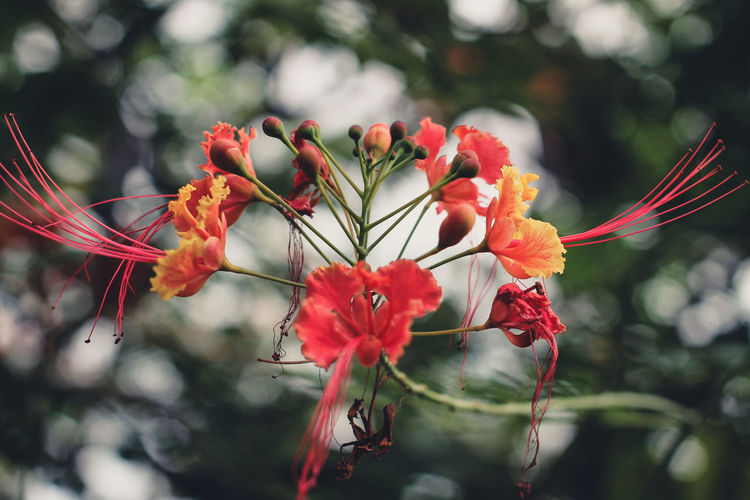 Beauty In Nature Botany Close-up Day Flower Flower Head Flowering Plant Focus On Foreground Fragility Freshness Growth Inflorescence Nature No People Outdoors Petal Plant Pollen Red Selective Focus Vulnerability