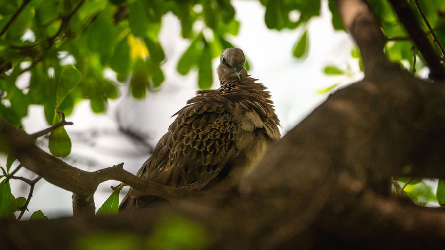 A Spotted dove
