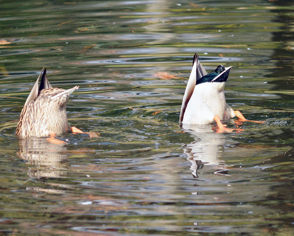 Two ducks diving in the lake Animal Themes Animal Wildlife Animals In The Wild Beauty In Nature Bird Diving Ducks Duck Ducks At The Lake Ducks Humor Ducks In A Row Ducks In Water Lake Swimming Togetherness Two Animals Water Water Bird Waterfront