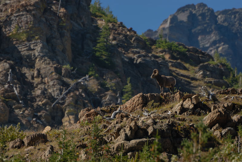 The majestic bighorn sheep standing on a rock formation in the mountains of Glacier National Park, United States BigHorn Bighorn Sheep Glaicer National Park Mountain Sheep Mountain View Rock Formation Animal Themes Animal Wildlife Animals In The Wild Day Male Male Bighorn Mammal Mountain Mountain Hike Mountain Peak Nature No People One Animal Outdoors Rock - Object Sheep Tree