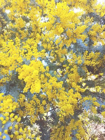 I absolutely love wattle trees 😍❤ Full Frame No People Backgrounds Beauty In Nature Outdoors Tree Freshness Close-up Day Growth Phone Photography First Eyeem Photo Country Life Wattle Tree Wattle Flower