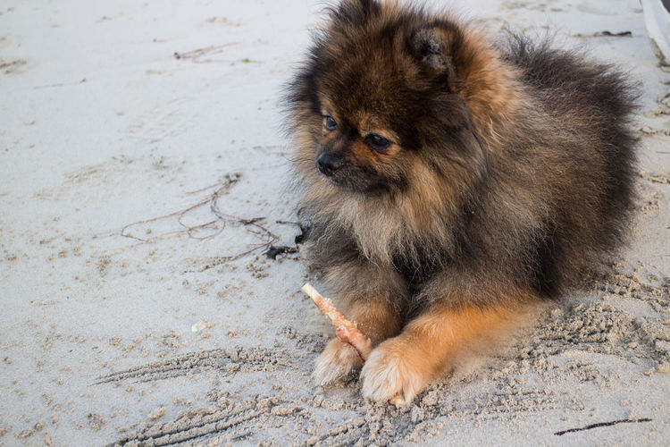 Beach Close-up Dog One Animal Orange Sobel Outdoors Pets Pomeranian Sand EyeEmNewHere EyeEmNewHere