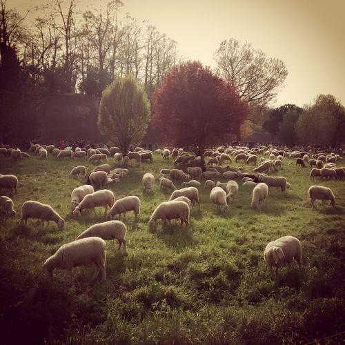 Ferrara, Where Sheep May Safely Graze
