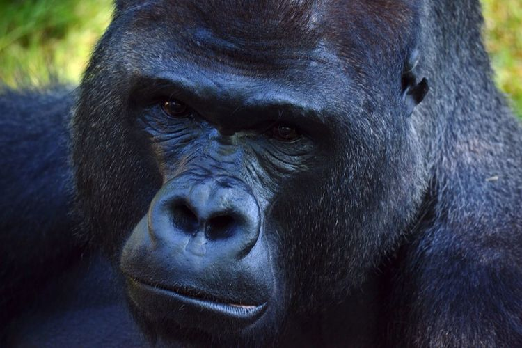 Animals Animal Photography Gorillas Portrait