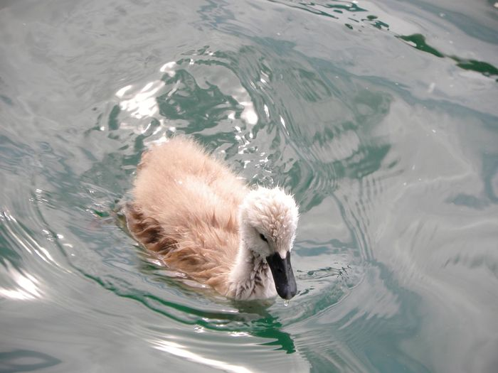 View of young swan swimming in lake