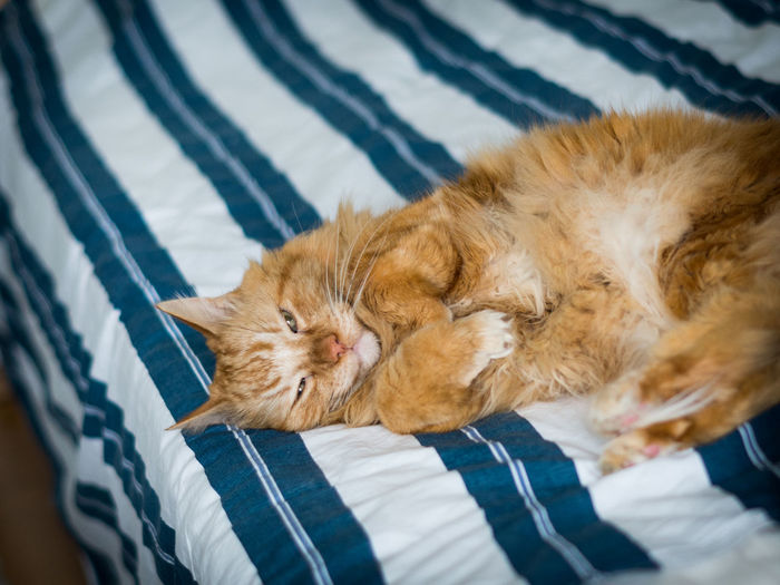 Close-up of ginger maine coon relaxing on bed