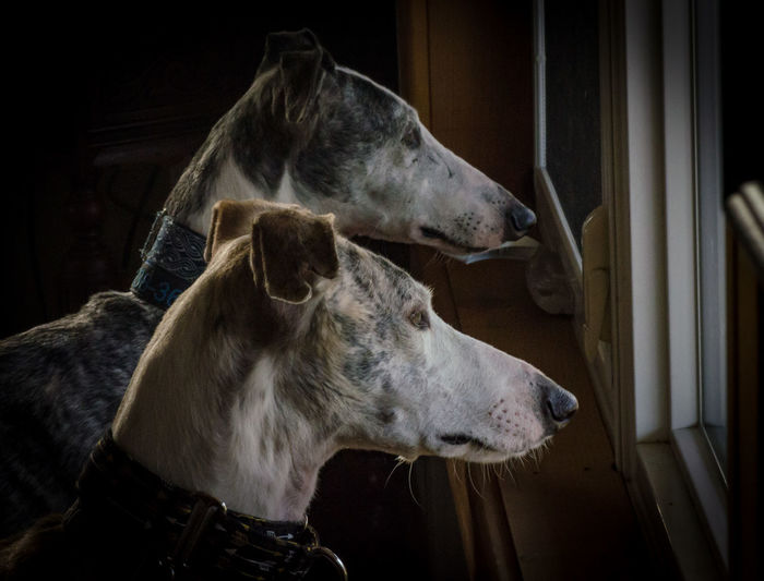 Close-up of dogs looking through window