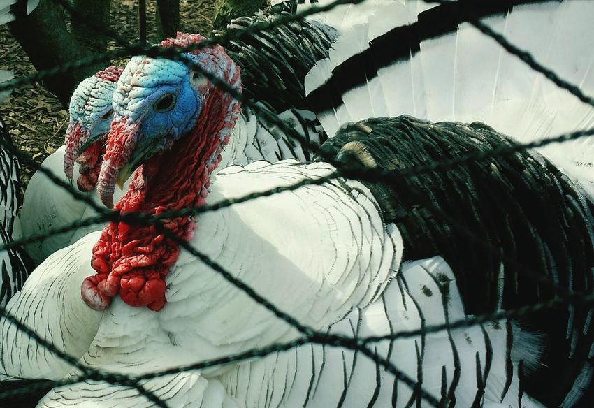 Blue Face White Turkey Outdoor Nature No Joke Check This Out Looking Out At Me Colors Of Nature