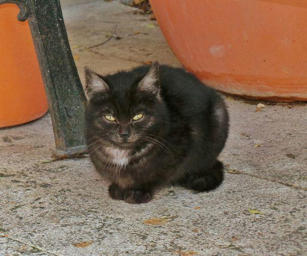 Black Cat Posing Animal_collection Cat