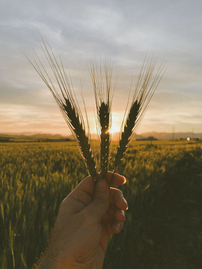 Hand holding crops on field against sky during sunset