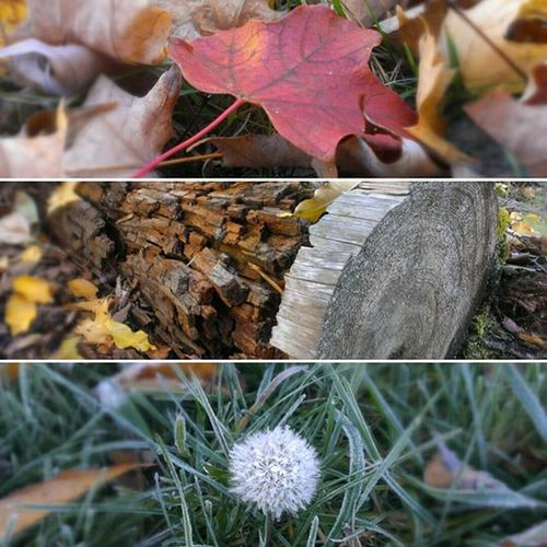 Fall flashback Itscoming Fall Goodsmells Fallleaves Makeawish Dandelion Leaves Coolwood