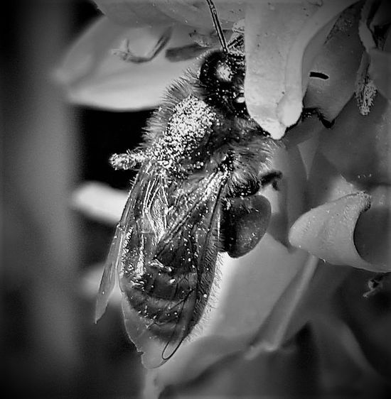 Close-up of a Bee in London UK 2017 2017 2017 Year 2017 Photo Black & White Black & White Photography England, UK Great Britain LONDON❤ London London 2017 London lifestyle United Kingdom Black & White Collection Black And White Black And White Collection  Black And White Photography Black&white Black&white Photography Blackandwhite Blackandwhite Photography Blackandwhiteonly Blackandwhitephoto Blackandwhitephotography Londonlife Uk England