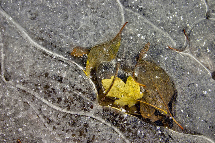 Leaves Frozen In Ice Air, Autumn, Beauty In Nature, Close Up, Directly Above, Day, Ice, Icy, Ice Crystals, Idyllic, Frozen, Foliage, Frost, High Angle View, Nature, No People, Leaf, Leaf Veins, Leaves, Scenic, Season, Stream, Plant, Pattern, Tranquil Scene, Tranquility, Trans Fragility, Water