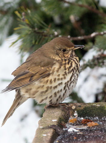 Song thrush Song Thrush Turdus Philomelos Bird Close-up No People Outdoors Perching Profile View Snow Wildlife