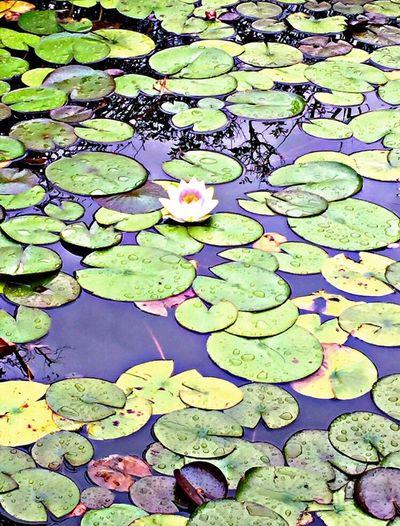 Lake Ninfa Ninfea Lotus Lotus Flower Pink Flower Pink Green Green Color Pink Color Emotion Photographer Happiness Water Water Reflections