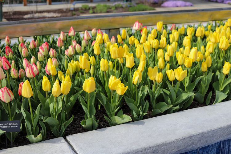 Close-up of yellow tulip flowers
