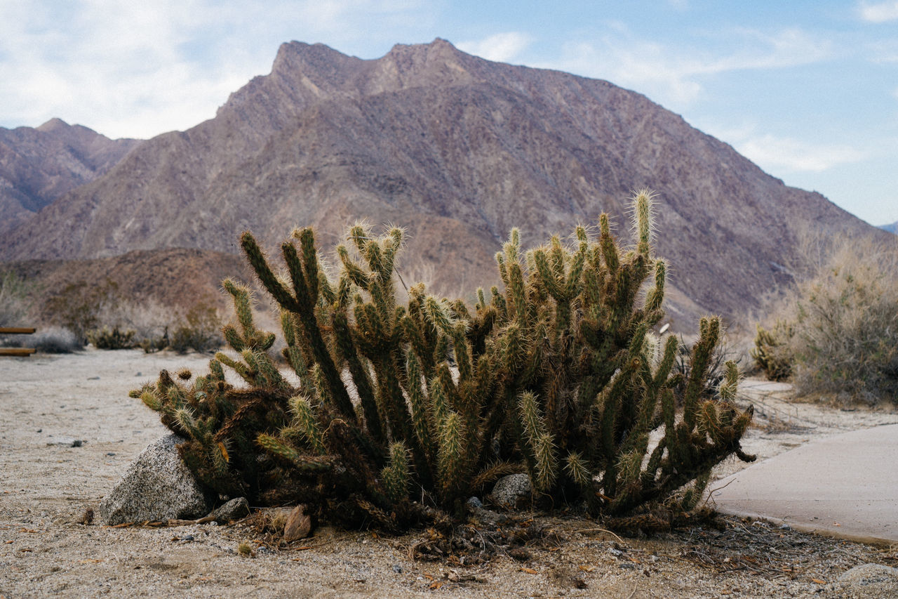 Cactus growing on field by mountains against sky