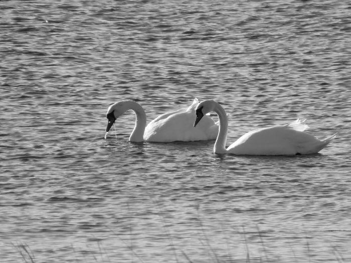 Blackandwhite Swan Bird Swimming Water Lake Water Bird