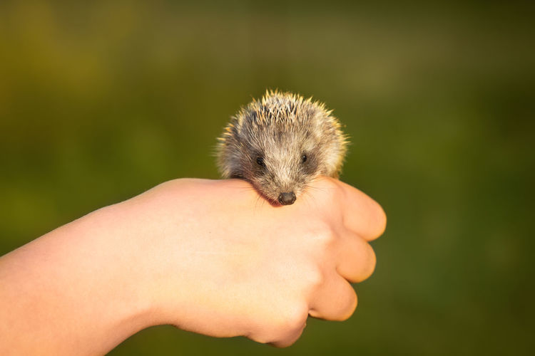 Close-Up Of Human Hand Holding Hedgehog