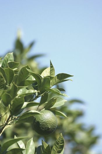 Low angle view of fruits growing on plant against sky
