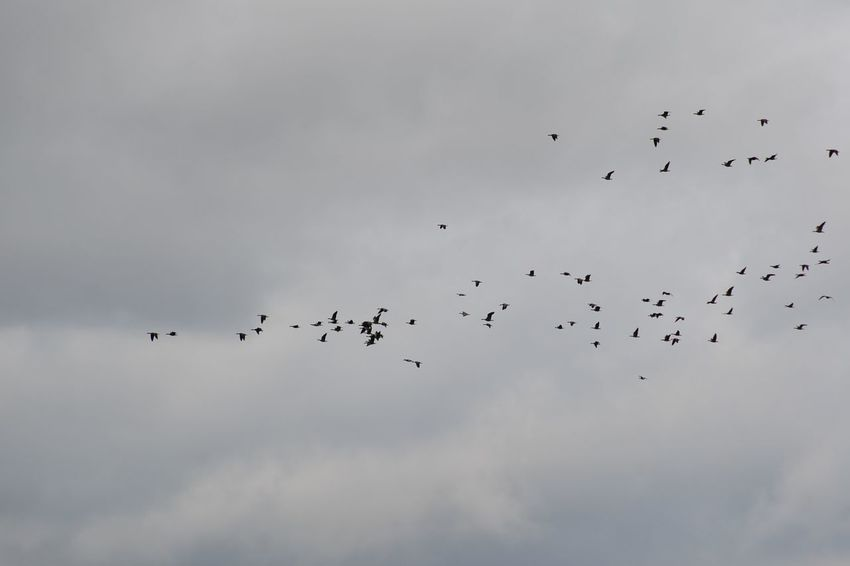 this way everybody Animal Body Part Animal Themes Animal Wildlife Animals In The Wild Bird Canadian Geese Cloud - Sky Cultures Day Flock Of Birds Flying Horizontal Large Group Of Animals Low Angle View Migrating Nature No People Outdoors Sky Togetherness Unity