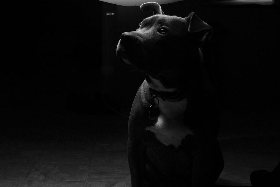 Bluepit Pitbull Love Pitbullterrier PitBullNation DontbullymybreedBlack And White Photography Black And White Collection  Pitbull Lover Pitbull Life Canon_official