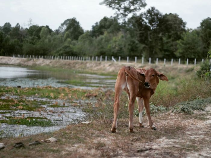 Cow by the water