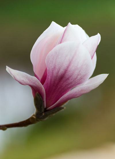 Magnolia Magnolia Magnolia Blossoms Magnolia Flower Magnolia Tree Magnolia_Blossom Magnoliaceae Magnolias Blooming Magnolie Beauty In Nature Blooming Flower Flower Head Fragility Freshness Magnolia Blossom Magnolias Magnolien Magnolienblüte Nature No People Outdoors Petal Pink Color Plant