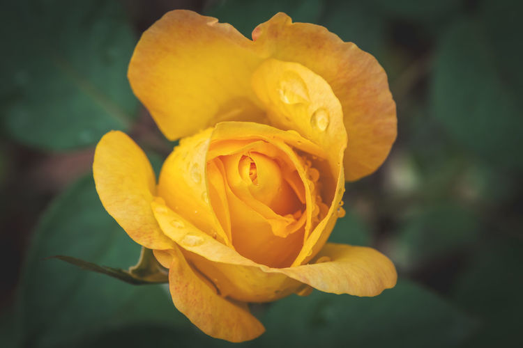 rose Flower Flowering Plant Vulnerability  Fragility Petal Beauty In Nature Plant Inflorescence Flower Head Rosé Close-up Freshness Nature Rose - Flower Growth Yellow Focus On Foreground No People Outdoors