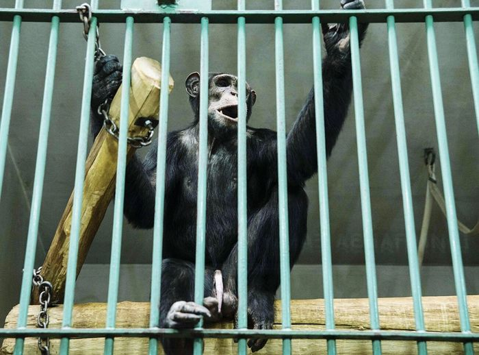 Low Angle View Of Chimpanzee In Cage
