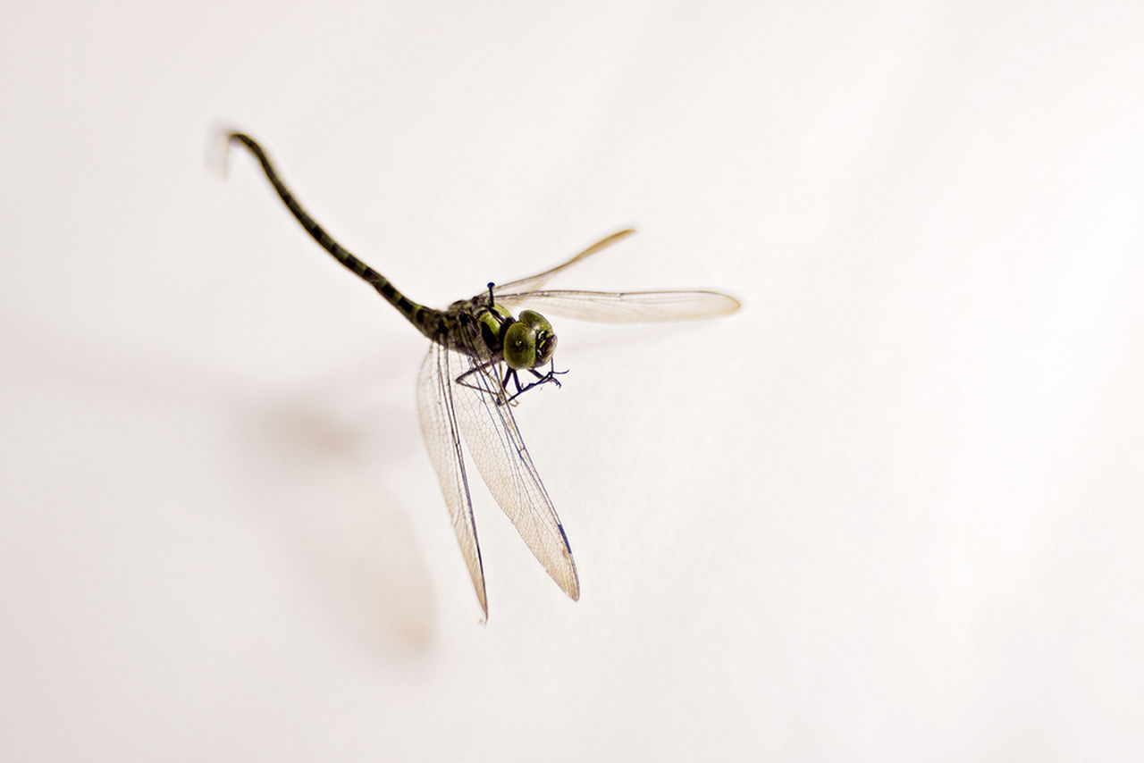 insect, animal themes, one animal, animals in the wild, white background, close-up, studio shot, mosquito, animal wildlife, no people, day, outdoors