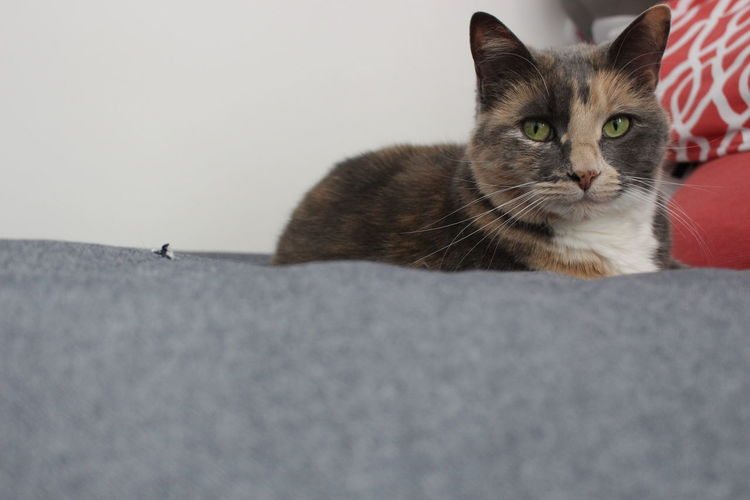 Misty! Pets Domestic Cat Domestic Animals Domestic Cat Feline Mammal One Animal Portrait Looking At Camera Vertebrate No People Relaxation Close-up Indoors  Whisker Copy Space
