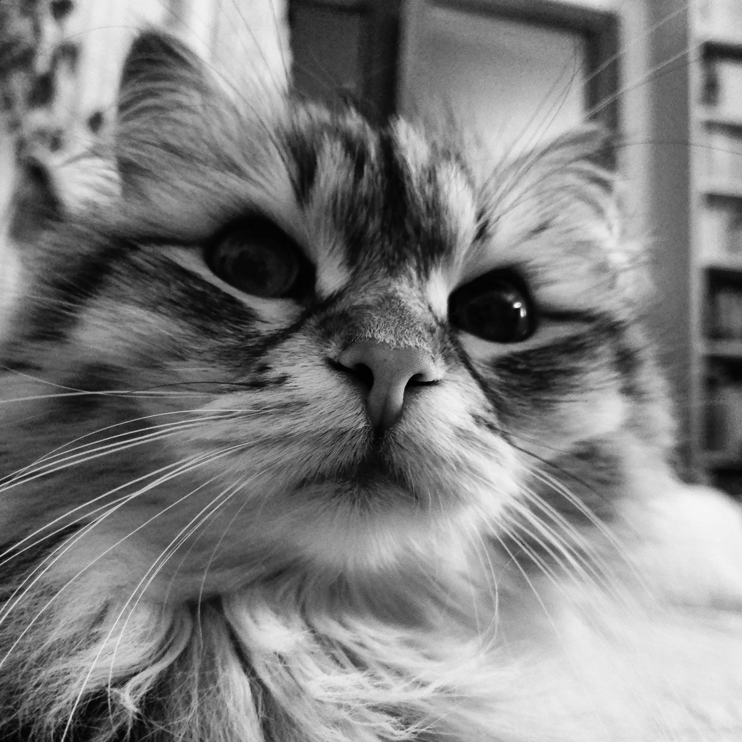 domestic cat, pets, domestic animals, animal themes, whisker, one animal, feline, mammal, close-up, looking at camera, no people, portrait, indoors, persian cat, day
