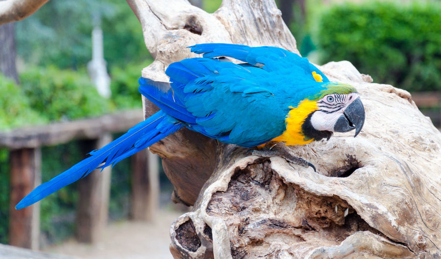 Close-up of blue-and-yellow macaw perching on wood