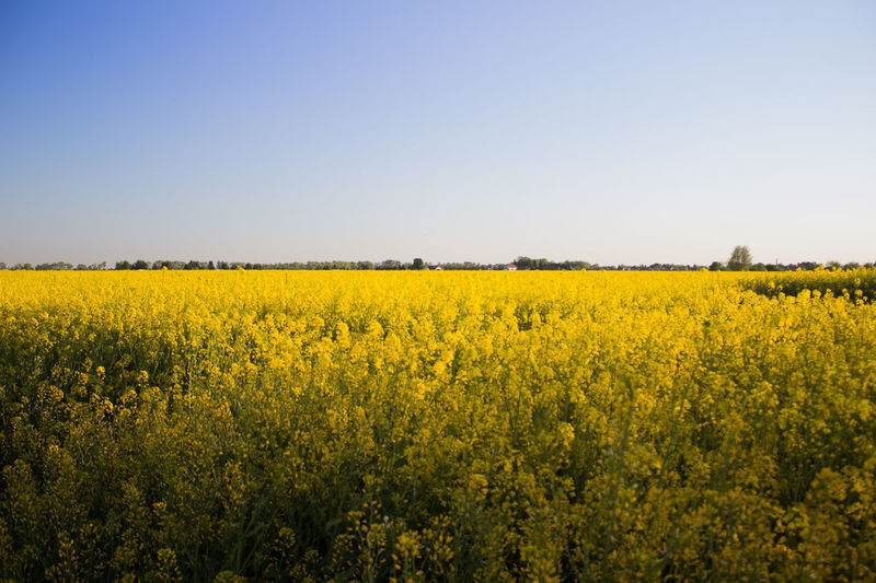 Agriculture Beauty In Nature Clear Sky Crop  Day Field Flower Landscape Nature No People Oilseed Rape Outdoors Plant Rural Scene Scenics Sky Yellow