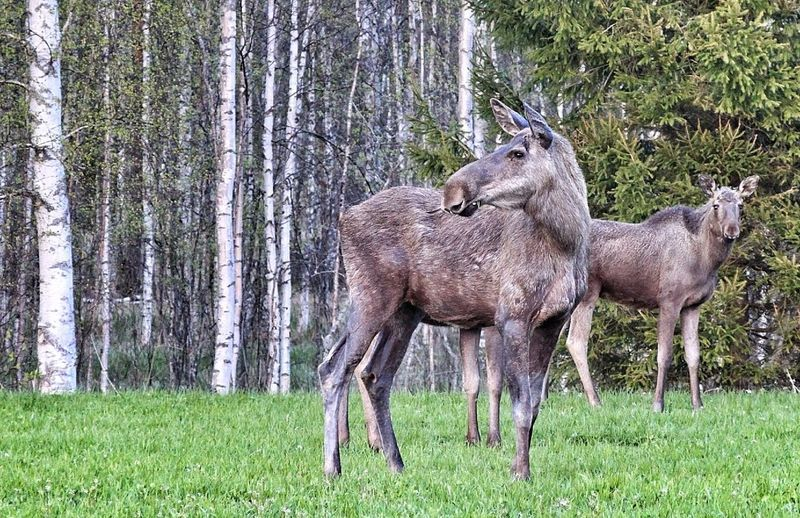 Elk on grassy field