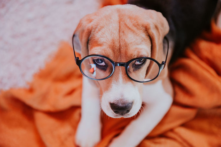 Animal Themes Beagle Dog Domestic Animals Eyeglasses  Front View Glasses Looking At Camera One Animal Pets Portrait