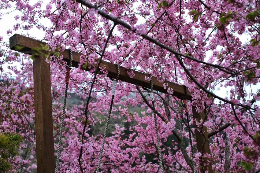 臺灣 恩愛農場 Nature Taiwan Tree Low Angle View Growth Nature Flower Pink Color Beauty In Nature No People Branch Springtime Freshness Outdoors Fragility Day Sky