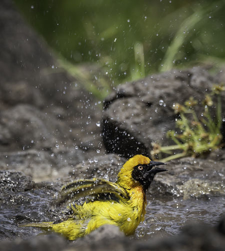 tanzania Bird Photography Capture The Moment EyeEm Best Shots EyeEm Nature Lover EyeEmNewHere Animal Animal Themes Animal Wildlife Animals In The Wild Bird Birds Day Drop Focus On Foreground Lake Motion Nature No People One Animal Outdoors Selective Focus Splashing Vertebrate Water Waterfront