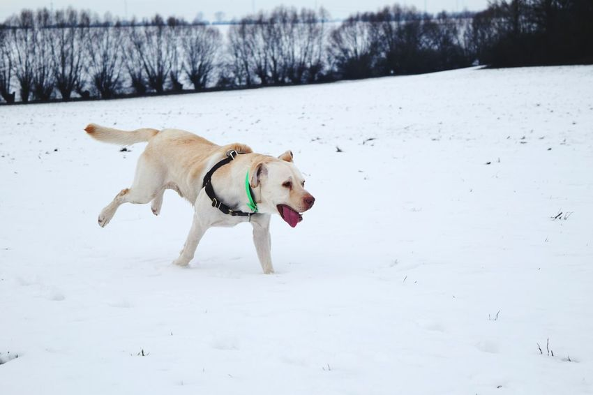 Snow Winter Cold Temperature Domestic Animals Pets Dog Landscape Animal Themes Outdoors Running Labrador Dogslife Dogs Of EyeEm Petscorner Dogs Of Winter Dogwalk Dog Of The Day Winter 2017 How's The Weather Today? January 2017 Portrait Motion Fieldscape Wartberg