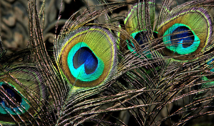 Beautiful peacock feathers in Thailand. China Chinese New Year Fortune Good Luck Stable Thrive Lucrative Relax Thailand Spring Time Relaxation Thai Style Peacock Peacock Feather Close-up One Animal Animal Wildlife Animal Themes Feather  Animals In The Wild No People Focus On Foreground Looking At Camera Nature Beauty In Nature Fragility Portrait Day Outdoors Bird