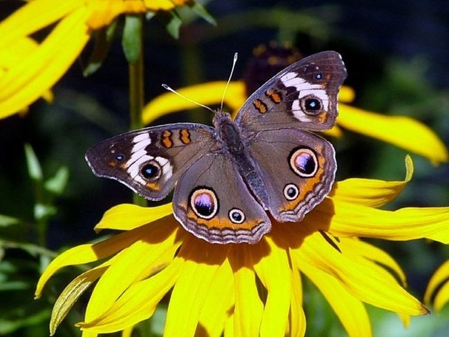 Buck Eye Butterfly Butterfly Butterfly And Flowers Butterfly Collection Butterfly ❤ Insects Collection Nature Nature Photography
