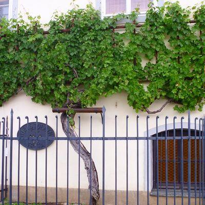 Самая старая виноградный лоза на планете, ей более 400 лет! путешествия впечатления туризм словения Марибор travel tourism Slovenia old wine Maribor