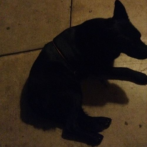 Lol my bad bitch is pregnant had to put a red ribbon string on her . Germanshepherd Itsamexicanthing Mexicans Tradition