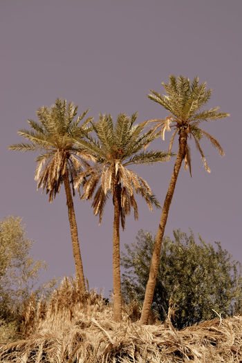 Low angle view of coconut palm trees on desert against sky