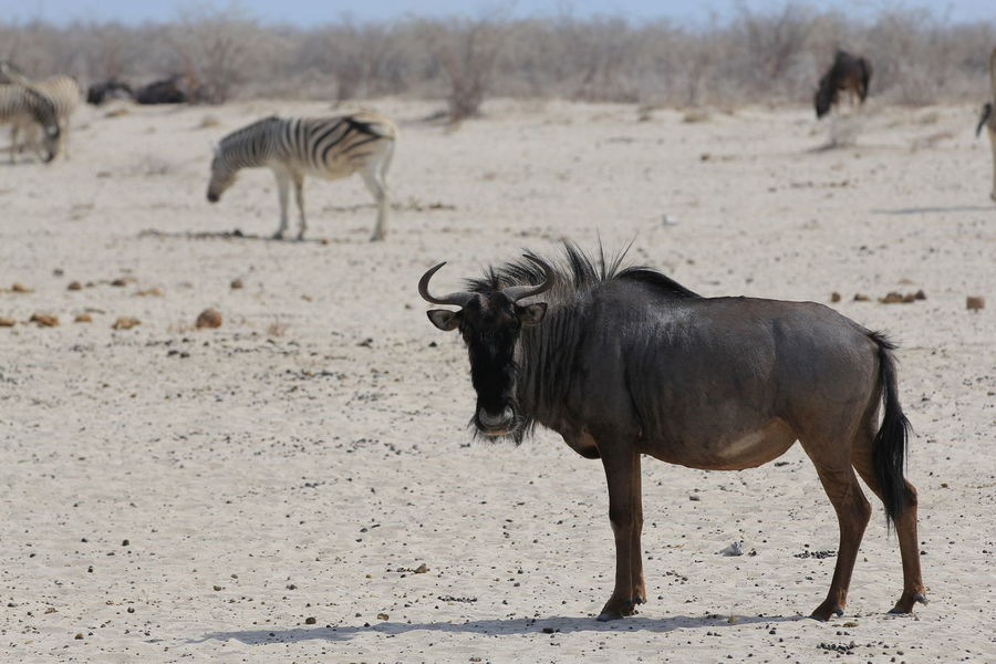 Dangerous Animals Desert Lillstyle Namibia Africa Animal Themes Animal Wildlife Animals In The Wild Antelope Day Full Length Large Group Of Animals Mammal Nature No People Outdoors Safari Animals Wild Life Wildanimal Zebra